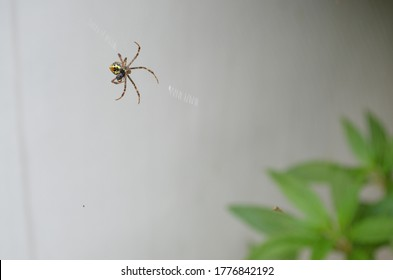 Argiope anasuja, is a species of harmless orb-weaver spider. Abdomen pentagonal and hairy. Dorsum yellowish with brown transverse bands. Three sigilla pairs distinct. Legs greyish brown and hairy.