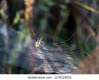 Argiope aurantia, golden garden spider covered in dewdrops carefully engineers her web in the sunrise (will stand much cropping)