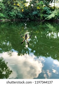 Argiope aurantia or yellow garden spider on her huge web next to a lake in Illinois.  Also known as a McKinley, Corn, zigzag , Writing , golden garden.silver-face and black and yellow garden spider.