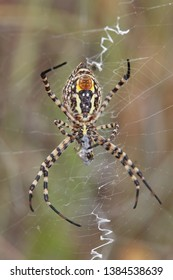 Argiope bruennichi.  Wasp, tiger spider.
