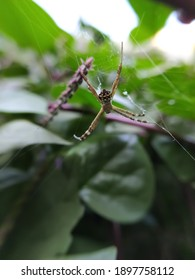Argiope keyserlingi spider on garden yellow spider in indian village garden spider image