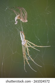 An argiope spider just shed her skin.