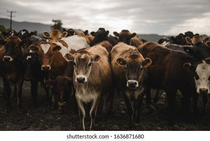 argricultural cows in New Zealand