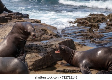 Arguing California sea lion Zalophus californianus shouting on the rocks of La Jolla Cove in Southern California
