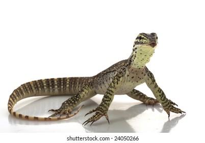 Argus Monitor Lizard (Varanus panoptes) isolated on white background.