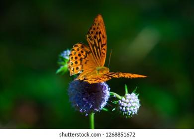 Argynnis orange-black butterfly on Knautia arvensis flowers