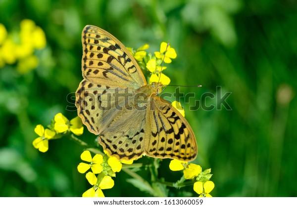 Bộ sưu tập cánh vẩy 5 Argynnis-pandora-beautiful-butterfly-on-600w-1613060059