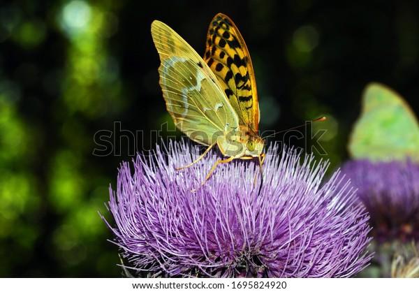 Bộ sưu tập cánh vẩy 5 Argynnis-pandora-feeding-on-flower-600w-1695824920