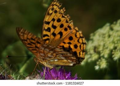 Argynnis - Pearl butterfly at flower in meadow