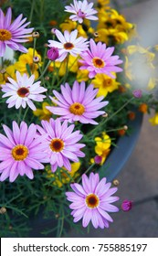 Argyranthemum frutescens or paris daisy, marguerite or marguerite daisy pink and yellow flowers with green in pot