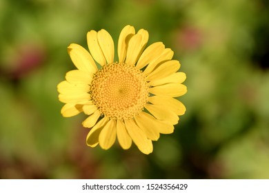 Argyranthemum (marguerite, marguerite daisy, dill daisy) is a genus of flowering plants belonging to the family Asteraceae. Members of this genus are sometimes also placed in the genus Chrysanthemum