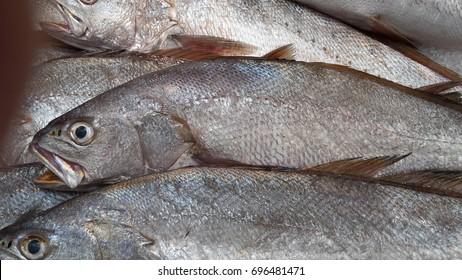 Argyrosomus regius (also known as meagre, croaker, jewfish, shade-fish, corvina, salmon-bass or stone bass)