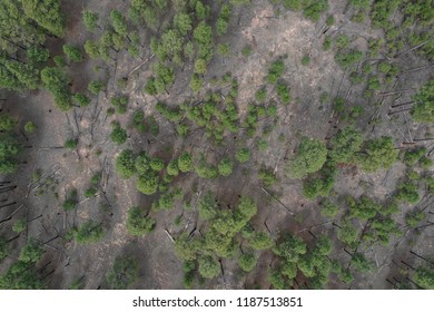 Arial phot of a pine tree forest