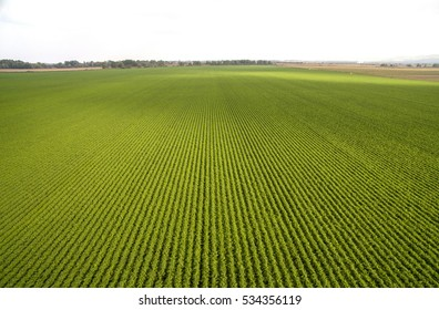 arial view of green carrots field
