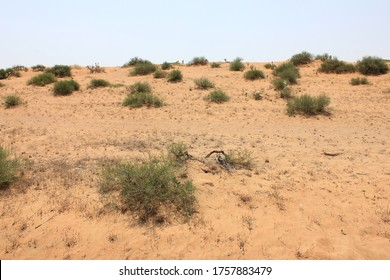 Arid desert landscape; desert sand dunes, with native drought-resistant green vegetation in the Middle East - north of the Tropic of Cancer - where summer temperature hits 55 Celsius (130 Fahrenheit).