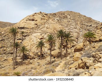 Arid and desert landscape with tall palm trees. Set of palm trees growing in isolated oasis in the arid valley of dry rocky desert. Palms rising high against hill. Palms and rocks pattern.