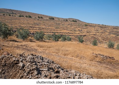 Arid fields with some olive trees.