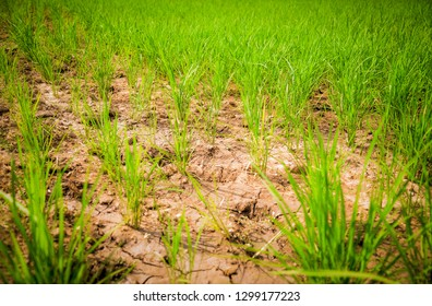 Arid green rice field / Cracked ground dry land during the dry season in rice field agriculture area natural disaster damaged agriculture - soil dry mud arid