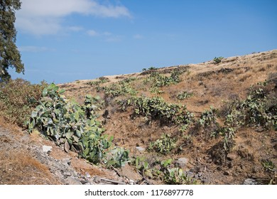 Arid hills with opuntia plants.