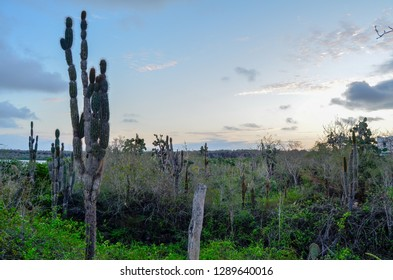 Arid Landscape, with tall cactus plants, against a setting sun sky.