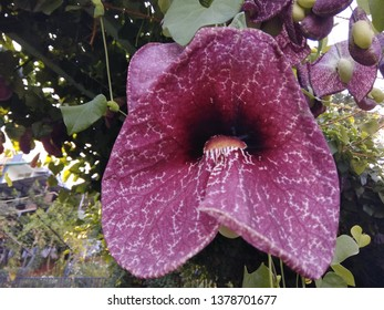 Aristolochia californica ione of the most distinctive of California's endemic plants. The California pipevine or California Dutchman's-pipe. It is a deciduous vine  with purple-striped curving .