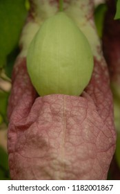 Aristolochia gigantea flower