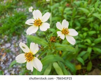 Arizona or Apache Beggarticks flower, Bidens aurea