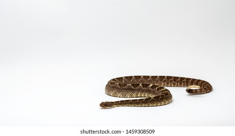 Arizona Black Rattlesnake on Isolated Background Crotalus cerberus