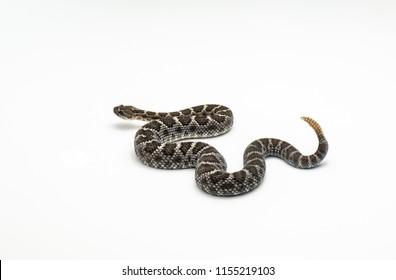 Arizona Black Rattlesnake on White Background Crotalus cerberus