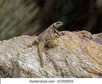 Arizona Chuck-walla in Phoenix Mountain Preserve,