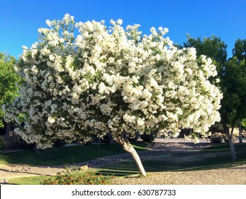 Arizona desert backyard with white Oleander tree in Spring with a bright blue sky above