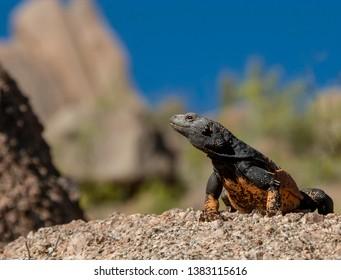 Arizona Desert Chuckwalla Lizzard In Pinnacle Peak paek & trail in North Scottsdale, AZ.