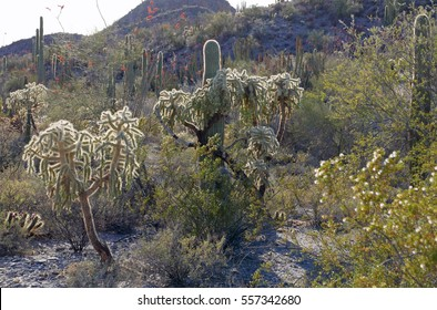 Arizona desert landscape in Organ Pipe National Park with various kinds of cacti and other vegetation in sunshine