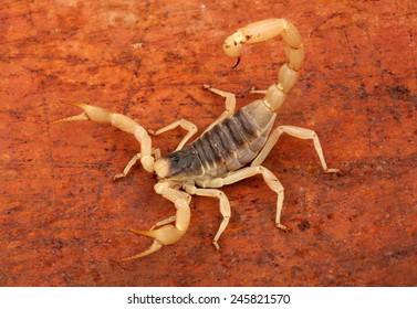 Arizona Hairy Scorpion on a rusty background.