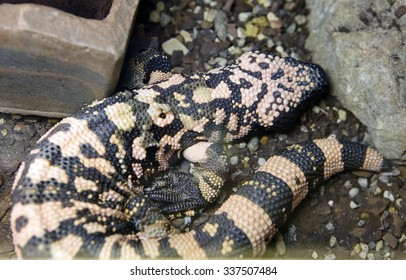 Arizona lizard, the Gila monster It's a poisonous lizard . Coloration variegated: dark brown main background are orange-yellow  spots. On the tail alternate dark and light transverse bands.