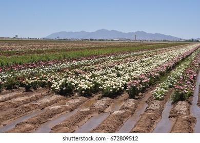 Arizona mature rose nursery