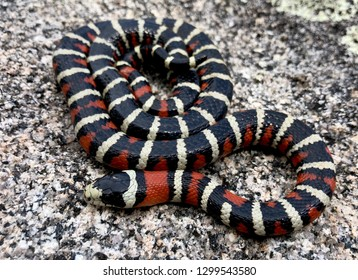 Arizona Mountain Kingsnake, Lampropeltis pyromelana, a coral snake mimic