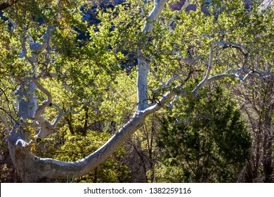 Arizona Sycamore in early morning light in spring, Coronado National Forest and Chiricahua Mountains