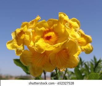 Arizona Yellow bell flowers