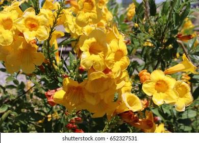 Arizona Yellow Bell Shrub