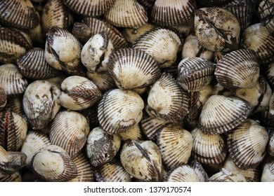 ark shells and cockles