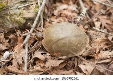 Arkansas Box Turtle