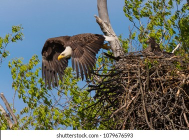 ARLINGTON, VIRGINIA, USA - APRIL 26, 2018: Adult Bald Eagle flies away from nest with two chicks, near Potomac River. Haliaeetus leucocephalus