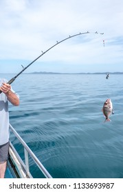 Arm of an adult male with a snapper caught on fishing rod with bait and hook - in Doubtless Bay, Far North District, Northland, New Zealand, NZ