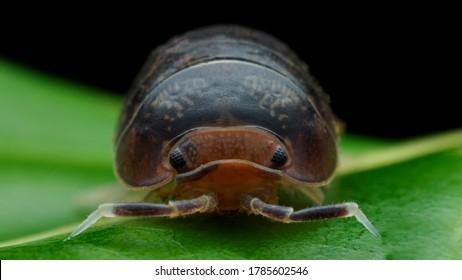 Armadillidium vulgare - pill-bug or roly-poly sp. family of Armadillidiidae. (Latreille, 1804).