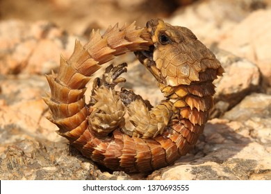 Armadillo Images, Stock Photos & Vectors | Shutterstock