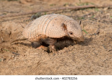 Armadillo searching for insects/Armadillo/Six-Banded Armadillo (Euphractus Sexcinctus)