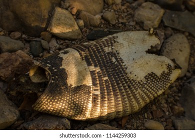 An Armadillo skin found on the banks of spring feed Pecan Crekk near Marble Falls, TX