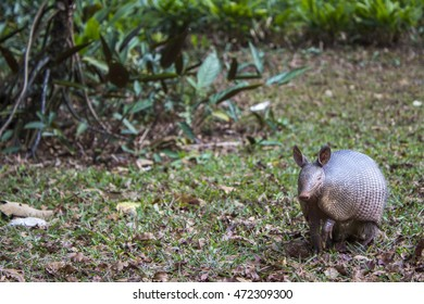 Armadillo walking in the grass, in the outdoor park, at Botanical garden, Sao Paulo, Brazil