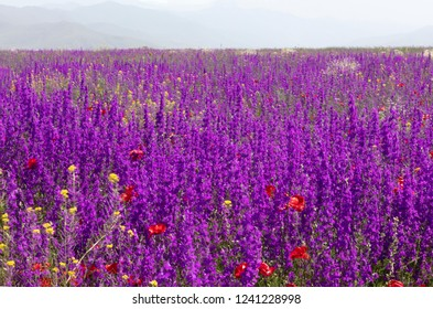 Armenia the vast field of fireweed on a sunny summer day